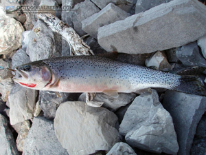 Fortress Lake Cutthroat Trout