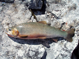 Mystic Lake Cutthroat Trout